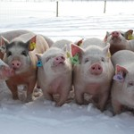 The new findings are significant for studying disease in humans and can also form the basis for sustainable pig breeding in the future.