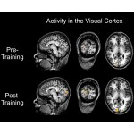 Brain scan showing activity pre- and post-training