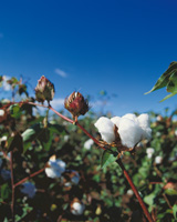 Greek cotton growers are using FiberMax™ certified cotton seeds, treated with innovative crop protection products.
