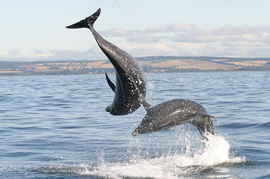 University of St Andrews marine biologists demonstrate wild bottlenose dolphins can respond to individual names