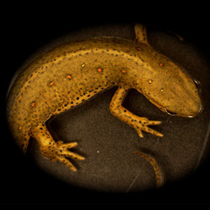 Image of a salamander (the newt Notophthalmus viridescens)