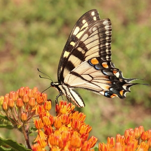 Tiger Swallowtail butterfly (credit: John Flannery source: Flickr)