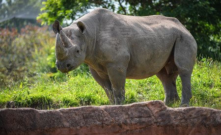 Poaching in the wild is a serious threat to the black rhino