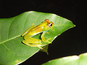 University of Bristol MSc student discovers new species of tree frog