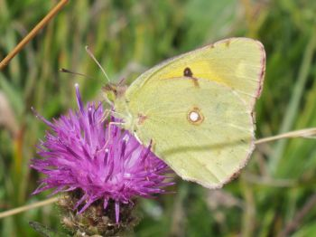 Clouded yellow butterfly on black knapweed at Saltdean Oval