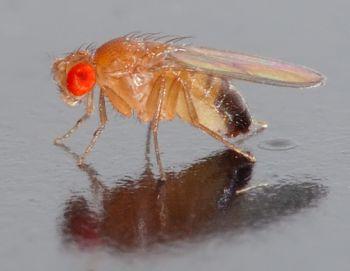 Drosophila melanogaster, the common fruit fly. Photo courtesy of André Karwath.