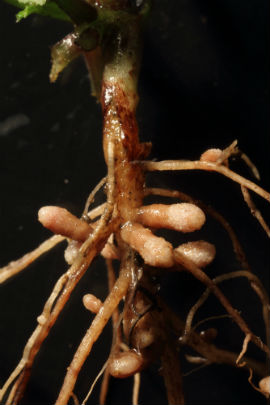Nodules made by Rhizobium leguminosarum on the roots of common vetch (credit: Peter Young)
