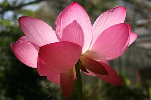 A Sacred Lotus Nicholas Wray