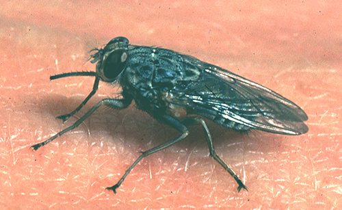 African sleeping sickness is transmitted by bloodsucking tsetse flies
