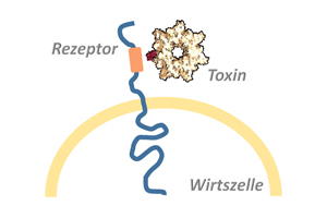 Bacterial toxins usually exert their full deadly effect in the host cell's interior. The toxins overcome the cell membrane by binding to a surface receptor, which conveys them into the cell's interior. © Panagiotis Papatheodorou