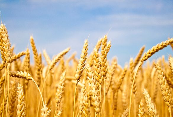 University of Liverpool scientists to decode DNA modifications in the wheat genome to understand its impact on crop variation