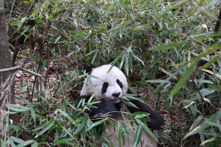 Chinese Academy of Sciences, Beijing Zoo, University of Aberdeen: giant pandas have an exceptionally low metabolic rate