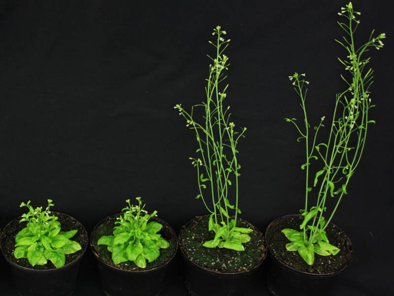 ress (Arabidopsis thaliana) which are induced by missing of steroid hormones (left side). With the help of gibberelline production the defects could be repaired (right side). (Photo: Brigitte Poppenberger / TUM)