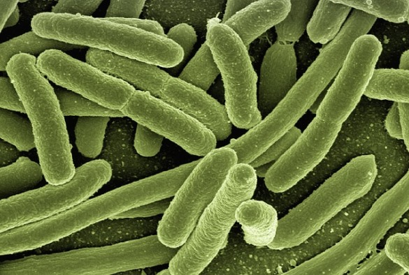 University of Liverpool scientists show how E.coli bacteria resist stomach acid so they can infect people more easily