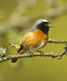 Long-distance migrants like the Common Redstart benefit from warmer summers in Europe. Credit: Mark Hamblin (rspb-images.com).