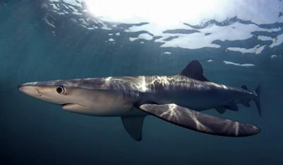 Blue shark Prionace glauca. Credit: Neil Hammerschlag, SharkTagging.com