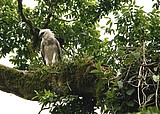 A young harpy eagle Foto: Herbert Dohlen