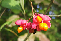 European spindle (Euonymus europaeus) Bild: Von Wildfeuer - Eigenes Werk (own photo), CC BY 2.5, https://commons.wikimedia.org/w/index.php?curid=1341136