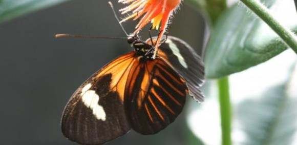 Heliconius Melpomene. Credit: Chris Jiggins, University of Cambridge