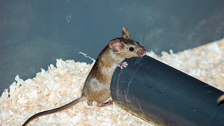 By removing themselves from the group sick mice limit disease spread. (Image: UZH)