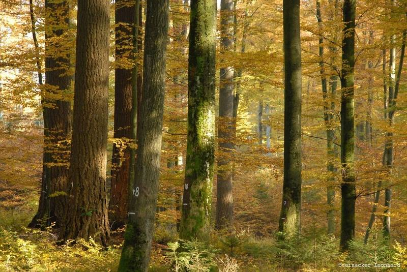 Experimental plots with mixed stands of Douglas fir-European beech in Bavarian lowlands . (Photo: Leonhard Steinacker/ TUM)